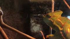 Veiled Chameleon Stock Footage