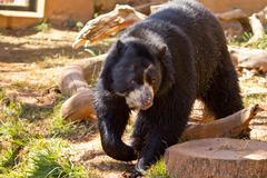 Big black bear Stock Photos