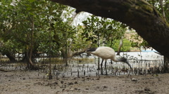 Camera moves back showing White Ibis feeding Stock Footage