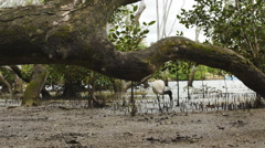 Dolly towards fallen tree and White Ibis Stock Footage