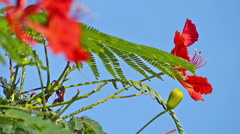Flamboyant tree, flame tree, Delonix regia Stock Footage