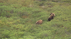 Aerial Shot Of Brown Bear Family Stock Footage