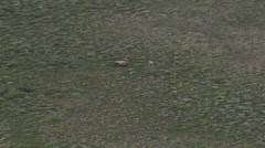 Aerial Shot Of Brown bear running the grassland Stock Footage