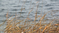 Dried Phalaris arundinacea reeds swaying at a Finnish lakeside in autumn Stock Footage