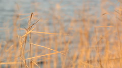 Close-up shot of dried Common reed vegetation swaying at a Finnish lakeside in Stock Footage