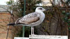 Seagull standing Stock Footage