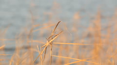 Racking focus shot of dried Common reed vegetation swaying at a Finnish lakeside Stock Footage