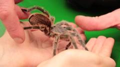 Tarantula Crawling On The Hand Stock Footage