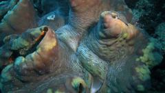 Giant clam underwater Stock Footage