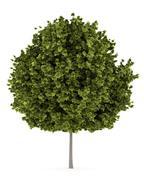 Norway maple tree isolated on white background Stock Illustration