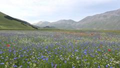Colorful sunset over a stunning flower field, Castelluccio Stock Footage