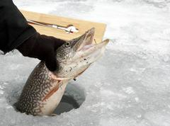 Northern Pike caught ice fishing - stock photo