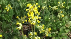 Cowslip (primula veris) close up yellow flower + zoom out Stock Footage