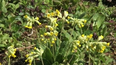Cowslip (primula veris) medium shot yellow flowers Stock Footage