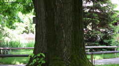 Tilt up of centuries old big oak with bark at natural park Stock Footage