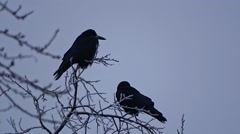 Crows on a tree Stock Footage
