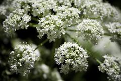 Queen Anne's Lace - stock photo