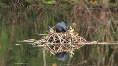 Common coot, fulica atra builds a nest of dead reeds and grasses Stock Footage