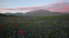 Castelluccio di Norcia, flowering landscape at sunset Stock Footage