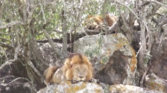 Two lions bask in the sun, Kenya - stock footage