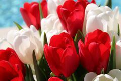 Stock Photo of tulips in spring sun