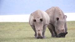 Two rhinos eats grass, Kenya Stock Footage