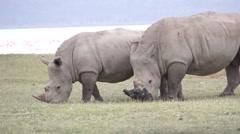 Two rhinos eats grass, Kenya - stock footage