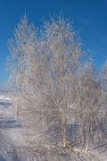Winter birch snow hoarfrost Stock Photos