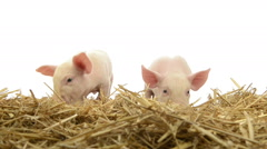 Piglets standing in straw Stock Footage
