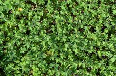 Green flora Clover plant background Stock Photos
