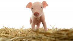 Piglet standing in straw Stock Footage