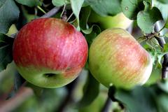 Green and red apple hanging on tree Stock Photos