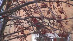 Pine Grosbeak Eating Mountain Ash Berries Stock Footage