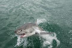 Great white shark (Carcharodon carcharias) Kuvituskuvat