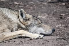 Wolf asleep - stock photo