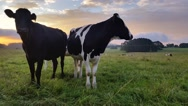 Stock Video Footage of Dairy cattle cow farming sunset / sunrise