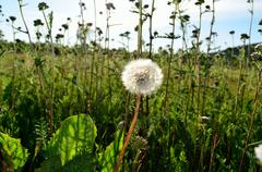 mature dandelion flower after blooming in summer field on sunny summer day - stock photo