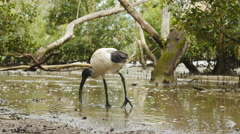 Ibis looking for food at Brisbane river 4K Stock Footage