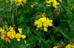 Beautiful yellow Bird's-foot Trefoil flower in summer Stock Photos