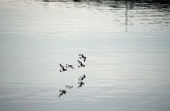 Flock of oystercatcher`s flying away over silent fjord water in summer - stock photo