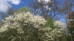 White blossom of Amelanchier with blue sky in background Stock Footage