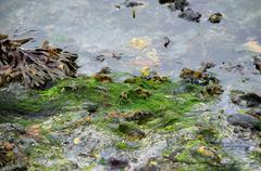Algae and seaweed on sea shore Stock Photos
