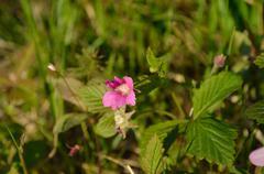 Stock Photo of beautiful pink wildflower in summer sun