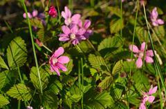 beautiful pink wildflower in summer sun - stock photo