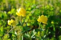 vibrant yellow globe flower in summer sunshine macro - stock photo