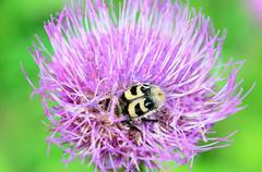 bumblebee pollinating purple thistle flower in summer macro photo - stock photo