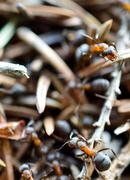 Ant working in anthill in summer macro photo Stock Photos