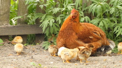 Hen and baby chickens on the rural Stock Footage