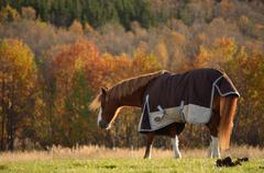 single horse grazing in autumn field sunshine catching a gust of wind - stock photo