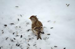 Redpoll bird feeding on birdseeds in the cold arctic winter Stock Photos